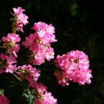 Nezu Jinja in Spring