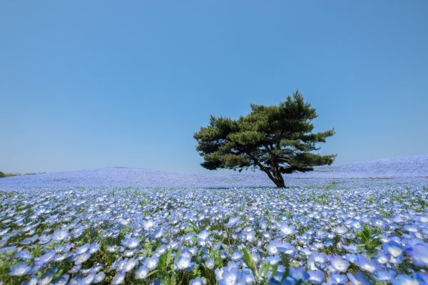 ネモフィラの咲く風景 茨城の風景