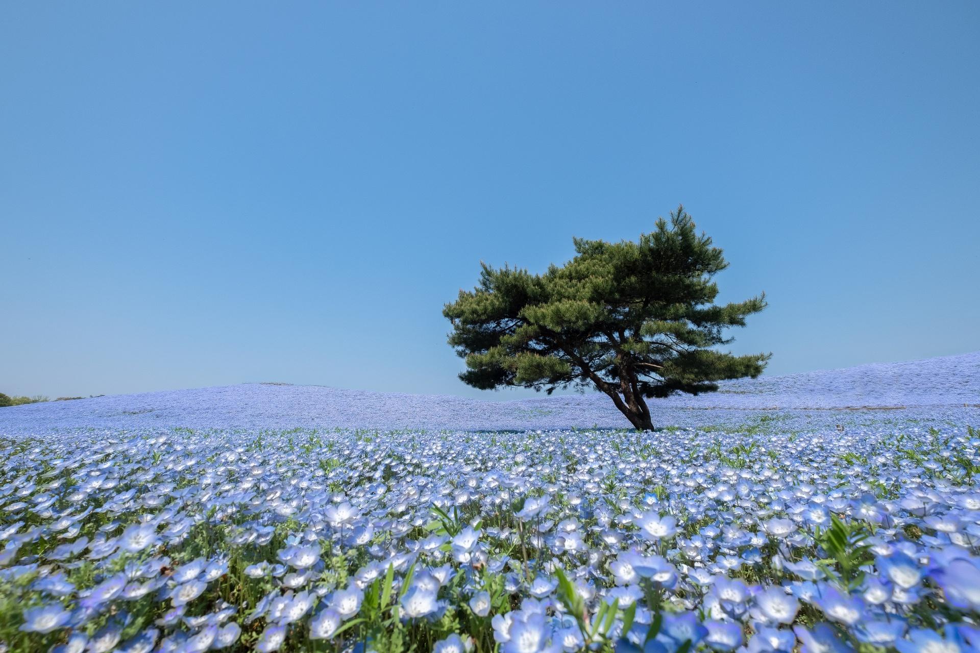 ネモフィラの咲く風景 – 国営ひたち海浜公園 茨城の風景